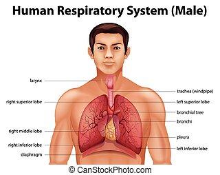 Human respiratory system - Illustration of the human...