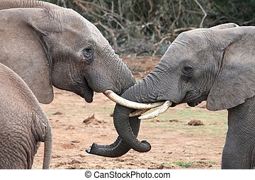 African Elephants - Two large African elephants greeting...