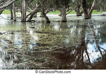 Wet Feet - Paperbark swamp with Melaleuca trees growing in...