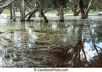 Wet Feet - Paperbark swamp with Melaleuca trees growing in...