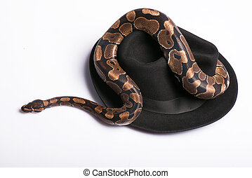 reptiles on white background - Boa constrictor on black hat...