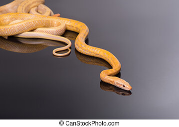 Yellow Rat Snake on black background - Yellow Rat Snake...