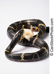 reptiles on white background - mangrove snake eating her...