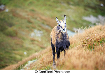Mountain goat, Chamois - Chamois in Tatra Mountains, Poland