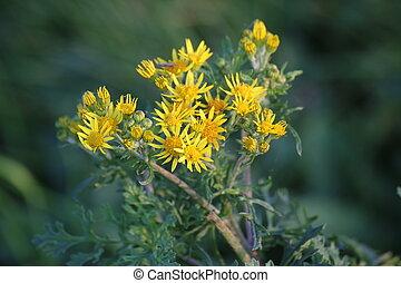 Ragwort Blossoms - Blossoms of the ragwort (Senecio...