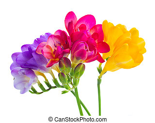 blue, pink and yellow freesia flowers border isolated on...
