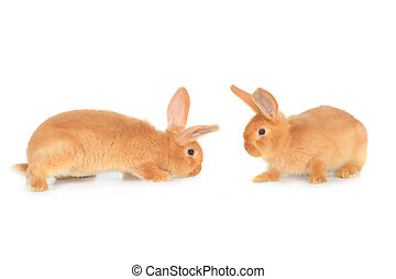 two brown rabbit on a white background