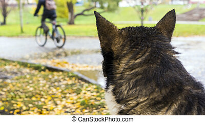 Karelian bear laika watching street in autumn day