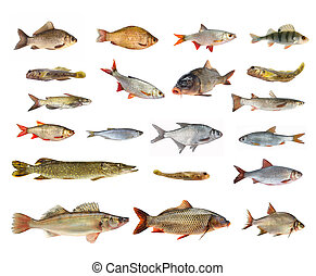 species of river fish on white background
