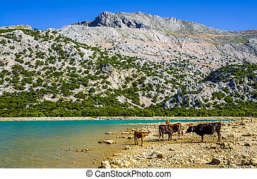 Cattle beside Cuber Reservoir - Cattle on rocky shore beside...