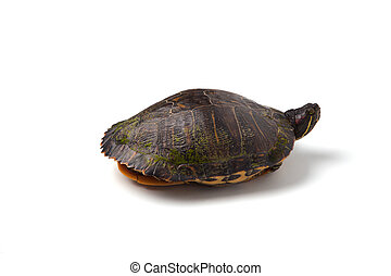 Red-Eared Slider - A red-eared slider isolated on a white...