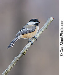 Black-capped Chickadee perched on a tree branch.