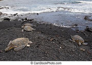 Sea turtles resting on beach - three green sea turtles...