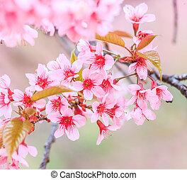 Cherry blossom, sakura flowers  background
