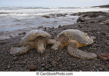 Green sea turtle on beach - couple of green sea turtles on...