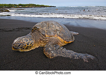 Sea turtle on beach - Single sea turtle on black sand beach...