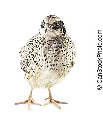 Young quail - quail isolated on white background