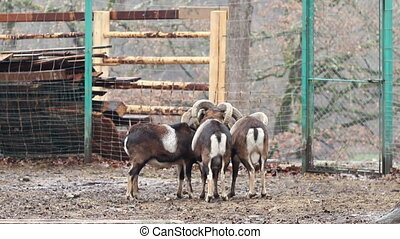 Group of Mouflons - A group of three mouflons sheep in the...