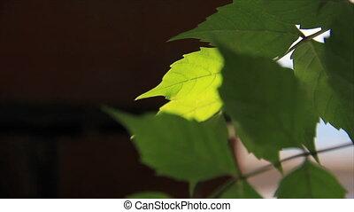 Green leafs in sunbeams
