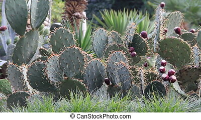 Prickly cactus - Very prickly cactus with long needles and...
