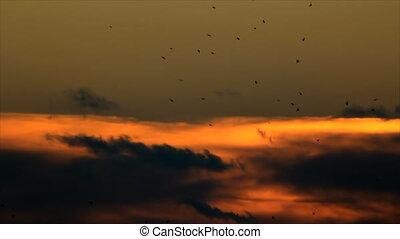 Birds circling at evening sky