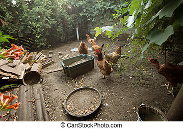 Chickens in the poultry yard eating
