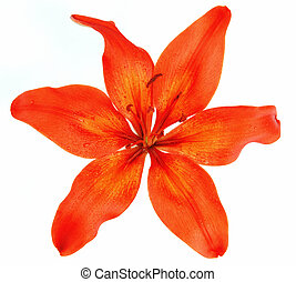 Red lily - Fresh beautiful red lily flower blossom isolated...