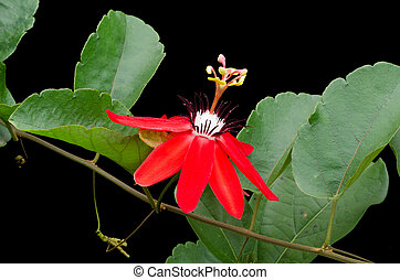 Red Passion Flower (Passiflora miniata) isolated on black...