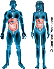 Human digestive system - The digestive system of human on a...