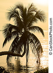 Coconut palm tree silhouette at sunset Koh Phangan island,...