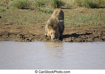 Male lion drinking water - A large male lion drinks water...