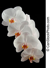 White orchid - White moon orchid blooms (Phalaenopsis...