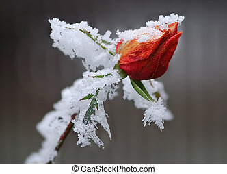 Frozen rose - Red rose bud covered by ice against the...