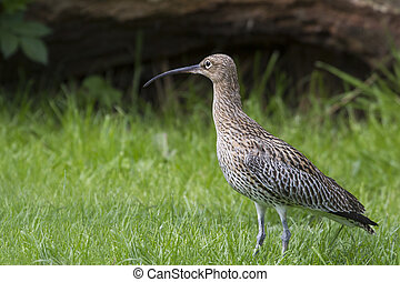 Curlew Numenius arquata standing on grass