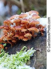 Mushrooms in winter - Flammulina velutipes ( velvet foot)...
