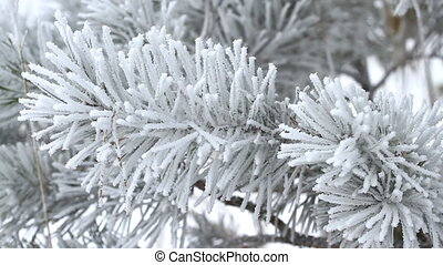 Fir tree in winter - Fir tree is covered by ice in winter