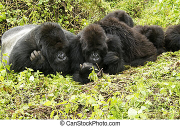 gorilla family - gorillas family in the rainforest of...