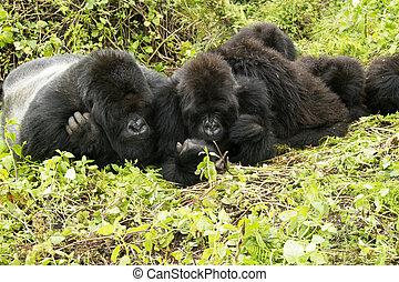 gorilla family - gorillas family in the rainforest of...