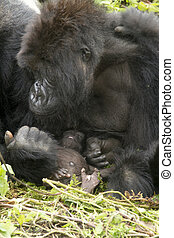 gorilla mum with baby in the rainforest of Biwindi...