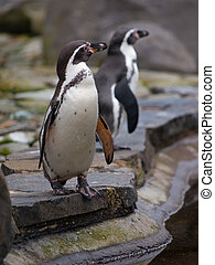 Humboldt Penguin standing on the edge of basin, spheniscus...