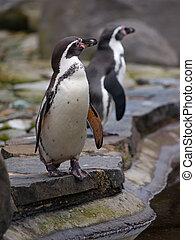 Humboldt Penguin standing on the edge of basin, spheniscus...