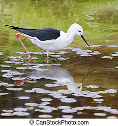Black-winged Stilt (Himantopus himantopus) - Black winged...