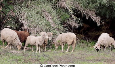 Flock of sheep grazing A1 - Flock of Sheep grazing on...