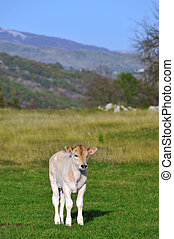 White bull calf - Calf on the meadow with blue sky in the...
