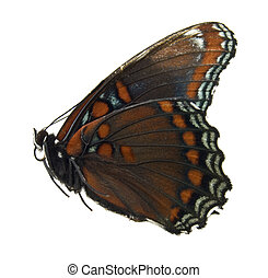 Red spotted purple butterfly isolated on white