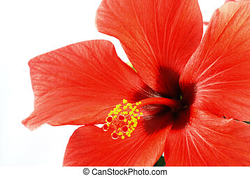 Hibiscus - Beautiful red hibiscus flower on a white...