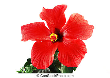Red hibiscus - Beautiful red hibiscus flower with green...