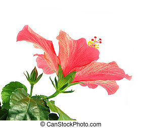 Hibiscus - Beautiful light red hibiscus blossom with buds...