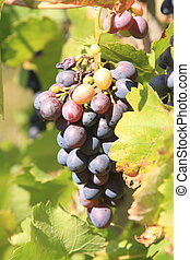 Healthy grapes in vineyard in France
