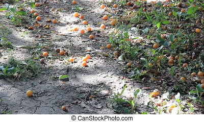 Fruits under apricot tree - Fruits fall on ground under...